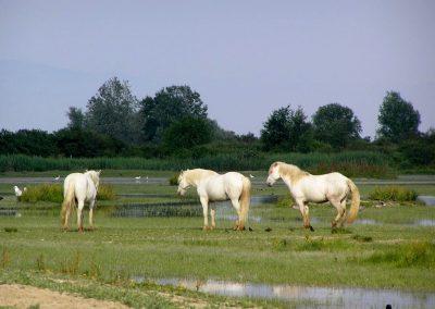 Cavalli bianchi isola della Cona
